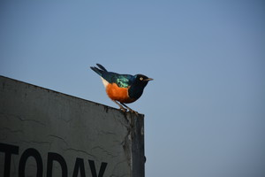 Colourful bird on Kenya Trip 2018