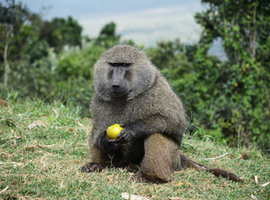 Baboon eating maize Kenya trip 2018
