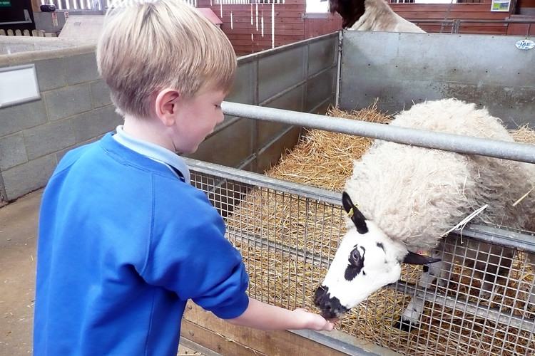 Year 2 boy greeting animal at Barleylands