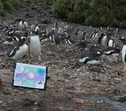 Our Antarctic Flags Reach Penguin Colony