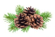 fir cones and leaves